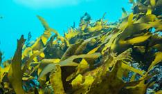 L3_褐藻のチカラ