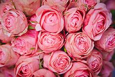 2017_0301_rose_s